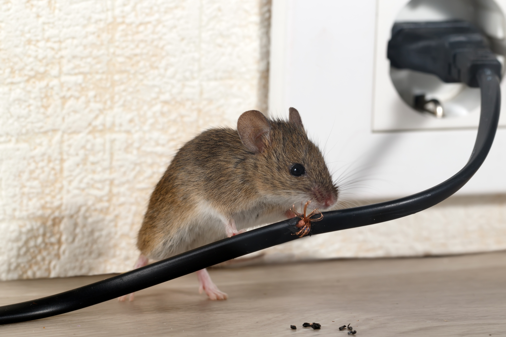 Mice Infestation, Pest Control in Addlestone, New Haw, Woodham, KT15. Call Now 020 8166 9746