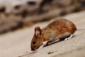 Mice Exterminator, Pest Control in Addlestone, New Haw, Woodham, KT15. Call Now 020 8166 9746