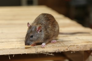 Rodent Control, Pest Control in Addlestone, New Haw, Woodham, KT15. Call Now 020 8166 9746