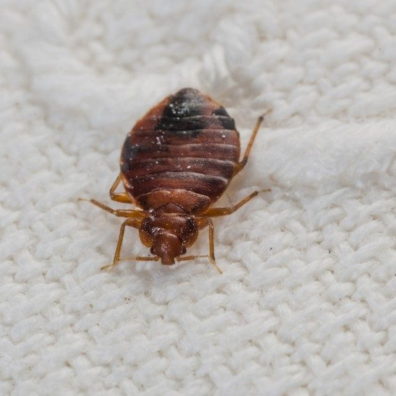 Bed Bugs, Pest Control in Addlestone, New Haw, Woodham, KT15. Call Now! 020 8166 9746