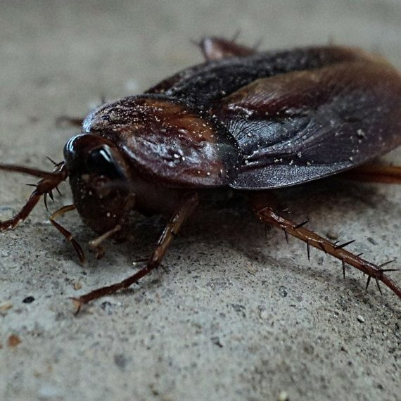 Cockroaches, Pest Control in Addlestone, New Haw, Woodham, KT15. Call Now! 020 8166 9746