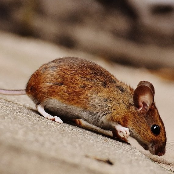 Mice, Pest Control in Addlestone, New Haw, Woodham, KT15. Call Now! 020 8166 9746