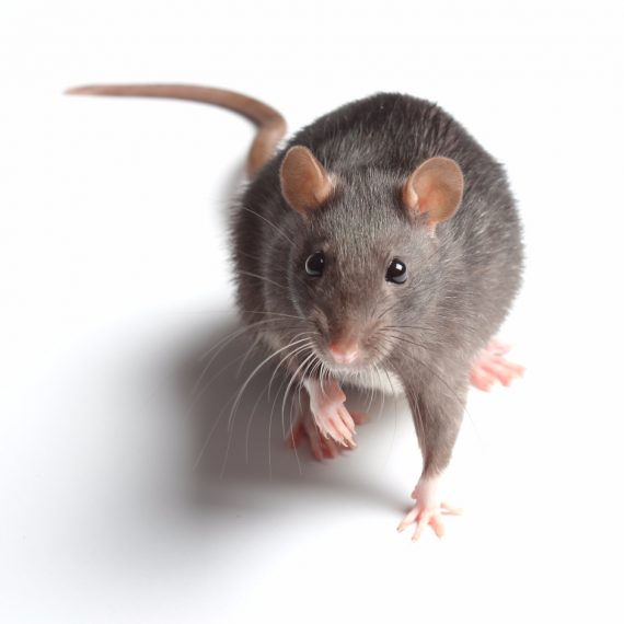 Rats, Pest Control in Addlestone, New Haw, Woodham, KT15. Call Now! 020 8166 9746
