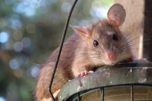 Rat extermination, Pest Control in Addlestone, New Haw, Woodham, KT15. Call Now 020 8166 9746